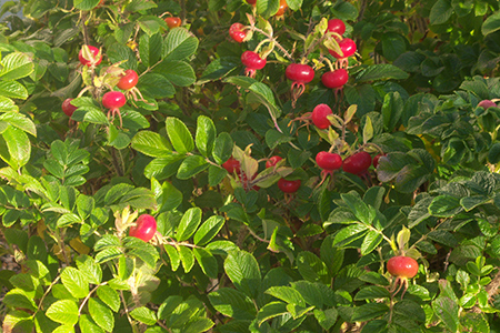 rosehips