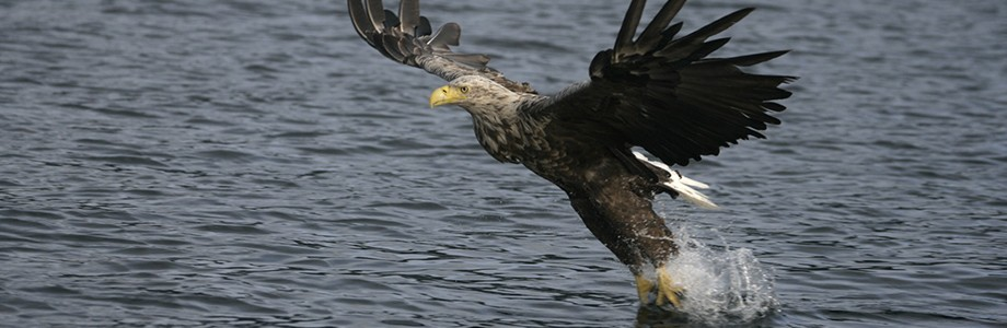 sea-eagle-skye
