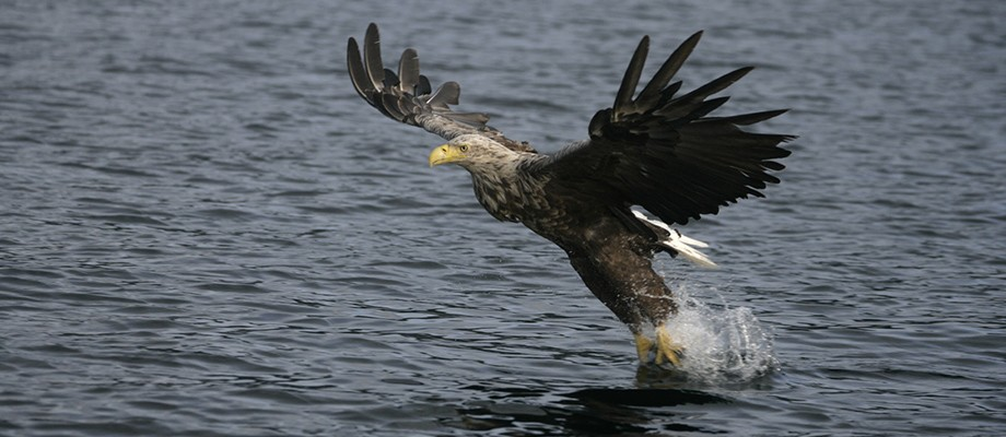 eagle-fishing-skye