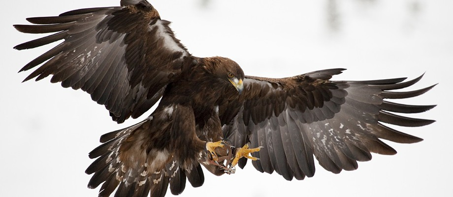 golden-eagle-skye